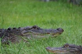 Okefenokee-Swamp (29)